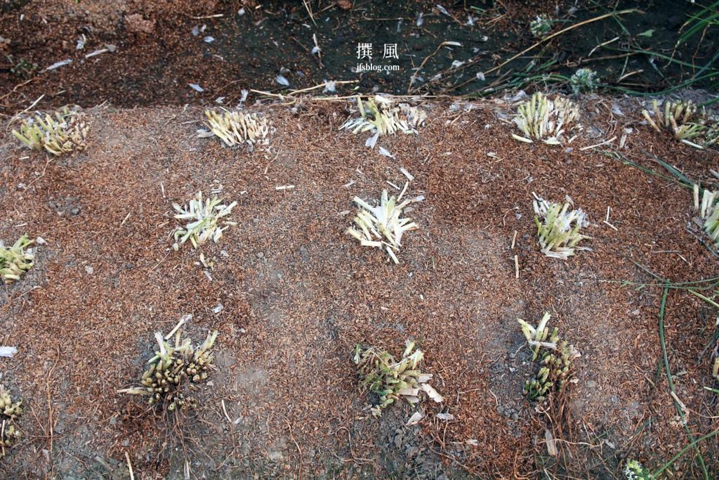 Allium tuberosum @ Daxi